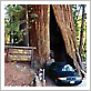 Drive Through a Redwood Tree